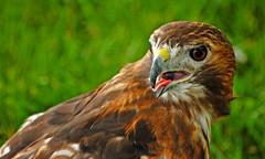 Whew!  I'm pooped! (Will Cook Photography (WCreations46)) Tags: birds raptors birdsofprey naturesfinest supershot interestingness404 i500 greenchimneys explore1june08