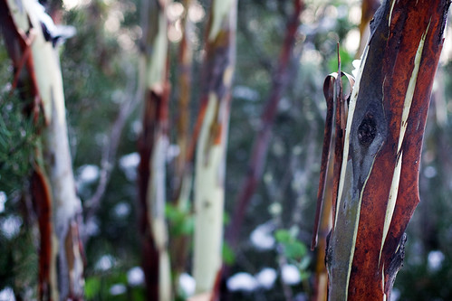 Young Snow Gums