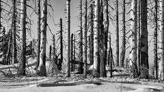 Der tote Wald / The dead forest (ludwigrudolf232) Tags: einfarbig wald bäume abgestorben nationalpark bayerischer winter