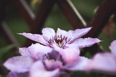 Flowers (I Love Canon <3) Tags: flower macro bokej bokeh light lightroom purple clemantis wood canoneos50d ef35f14lusm garden