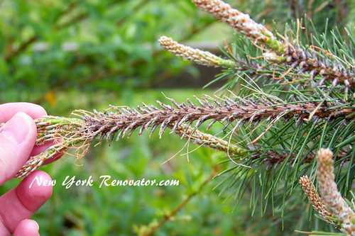 Exfoliated Pine