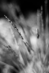 Breakout (belleshaw) Tags: blackandwhite nature grass wind bokeh seeds breeze sprouting simpsonpark hemetca
