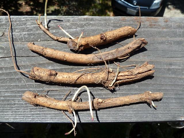 Cascade Hop Rhizomes