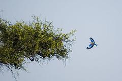 Carraca (elosoenpersona) Tags: africa tree bird arbol kenya safari lilac pajaro acacia masaimara carraca elosoenpersona