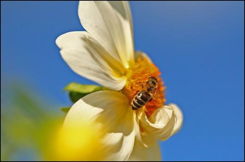 Bienen im Herbst ...