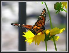 Borboleta (Claudio Marcon) Tags: flower macro nature yellow butterfly natureza flor borboleta breathtaking mywinners abigfave colorphotoaward theperfectphotographer top5butterflies montijoverdeamarelo claudiomarcon claudiolmarconribeiro