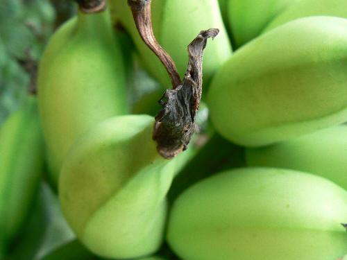 banana closeup
