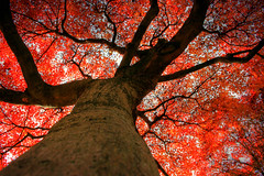 babylove tree (stopakix) Tags: autumn red tree fall japan canon eos rebel maple kiss mito dslr ibaraki amazingtalent xti 400d digitalx aplusphoto theunforgettablepictures