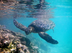 Happy Honu (jurvetson) Tags: life sea green nature animal hawaii underwater turtle tortoise snorkeling honu dudes kona tortue vie mave
