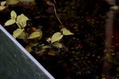 mint under water
