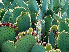 Chumbera (zarzaparrilla) Tags: cactus verde sol contraluz andalucía cy almería cabodegata 2007 vegetación espinas jardínbotánico pinchos fruto rodalquilar parquenatural chumbera zarzaparrilla espinoso challengeyouwinner conservación ltytrx5 níjar a3b