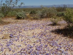 purple desert flowers (denes007) Tags: flowers purple desert nevada canyon short ceirra
