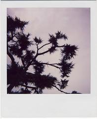 Fractal 1.0 (almogaver) Tags: pink shadow sky black tree film analog polaroid cel girona frame marc catalunya arbre polaroid600 analogic onestep polaroidonestep600 almogaver davidroca