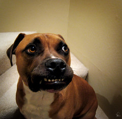 Worried Eddie (tishay) Tags: dog funnyface silly smile mouth funny teeth canine pit pitbull explore nervous worried worry eddie frown doggie flickrsexplore challengeyouwinner beginnerdigitalphotographychallengewinner