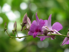 the beauty of orchid #1