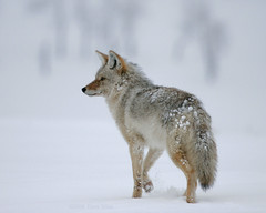 Winter Walker - Yellowstone (Dave Stiles) Tags: coyote winter wildlife yellowstonenationalpark yellowstone stiles coyotes canislatrans platinumphoto yellowstonewildlife empyreananimals naturewatcher natureoutpost goldwildlife tup2 wintercoyote ynpwinter2008 vosplusbellesphotos