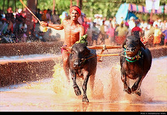 Kambala | BC Road (akshath) Tags: road trip india man game art water animal sport race rural village bc mud action south traditional fast run waters splash karnataka abs muddy southindia mangalore 6pack traditiona buffalow kambla kambala akshath akshathkumarshetty bcroad