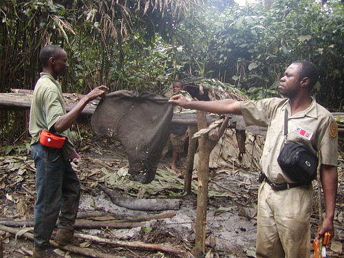 In the Okapi Reserve, uncontrolled military, using automatic weapons, were the elephant poachers. Here Crispin (now in TL2) holds up an elephant ear left by poachers in their camp.