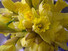 and the daffodils look lovely today ay ay! (Blanche and Guy) Tags: flowers blue music irish water kitchen yellow spring sink band cranberries stems vase lovely daffodils