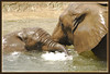 Playing in the Water (Kelley&Kelley) Tags: elephant water swimming trunk brown ears outdoors wildlife nature nikond200 jalalspagesanimalkingdom diamondclassphotographer llovemypics qualitypixels goldenpalmaward lowryparkzoo lawryparkzoo tampalowryparkzoo
