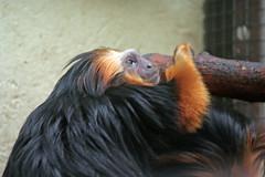 Singe lion  tte dore (laurent KB) Tags: zoo monkey mono switzerland suisse lion macaco primate aap singe affe rosalia  scimmia dore servion leontopithecus