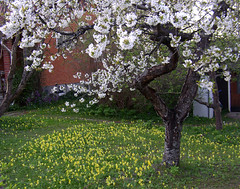 Gullvivor in garden (Per Ola Wiberg ~ powi) Tags: flowers garden sweden may explore showroom sverige blommor 2008 picturesque springflowers maj trdgrd aclass cowslips favoritephotos flowerpictures thegalaxy eker theworldinmyeyes gullvivor goldenmix photopassion vrblommor thebeautyofnature peaceaward keepyoureyesopen flickrbronzeaward heartawards photostosmileabout flckrhearts flickrsun exemplaryshotsflickrsbest natureislife natureslove goldstaraward naturestyle natureandme unlimitedphotos explorewinnersoftheworld qualifiedmembersonly beautifulshot grupodehablahispana awesomeblossoms angelawards ilikethenature addictedtonature platinumpeaceaward totaltalent shininghearts flickrsgottalent bestpeopleschoice ~justnature~ parisinitafriendsnew ~~cherishyourdreamsandvisions~~ treasuresofkeepyoureyesopen 2heartsaward allthatsbeautiful 3starsaward