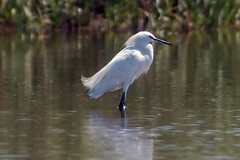 Snowy Egret (MCV Photo & Video) Tags: bird nature bay newjersey bokeh wildlife nj egret birdwatching sandyhook snowyegret birdwatcher naturelovers naturelover potofgold worldnature njas birdsphotos canon40d birdsinsideandout naturespotofgold wildlifecloseup jerseybird thewonderfulworldofbirds