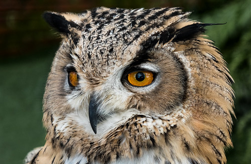 Tropical Butterfly House & Falconry Centre: Turkmenian Eagle Owl