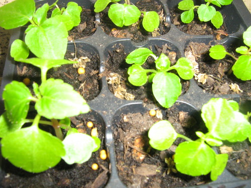 Impatiens Seedlings