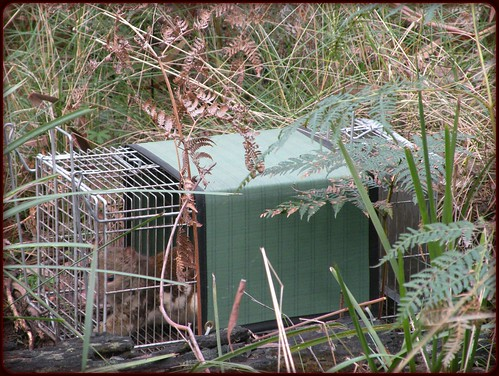 Quoll in CageTrap