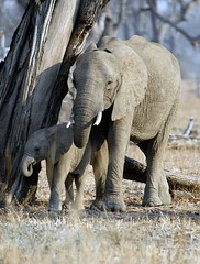 Elephant and calf, South Luangwa