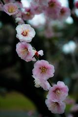 _ROW0385 (Alex Rowan) Tags: plants flower alex japan kyoto asia downtown  cherryblossom rowan plumblossom  nijojo nijocastle  centralkyoto  alexrowanphotography