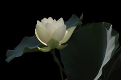 White Lotus - IMG_1528-800 (Bahman Farzad) Tags: white flower macro yoga peace lotus relaxing peaceful meditation therapy lotusflower lotuspetal lotuspetals lotusflowerpetals lotusflowerpetal