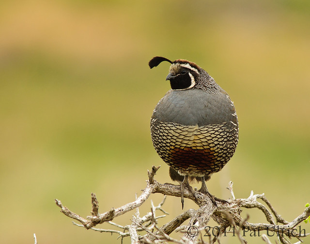 Quail on gnarled branches - Pat Ulrich Wildlife Photography
