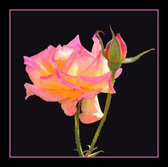 Sunny  Rose - by Lyubov