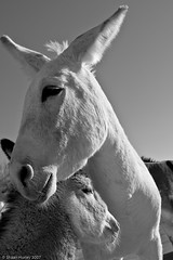 Mare and Colt Wild Donkey in streets of Oatman Arizona
