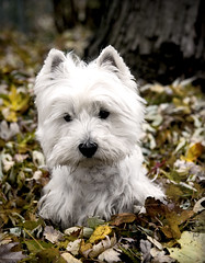 (paulh192) Tags: family autumn dog pet pets leaves animal michigan westie explore desaturation westhighlandwhiteterrier grandrapids fallcleanup impressedbeauty
