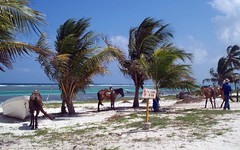 costa maya, mexico (scaturchio) Tags: cruise horses horse tree beautiful wonderful mexico boat ship great palm palmtree seashore costa royal seas caribbean explorer maya