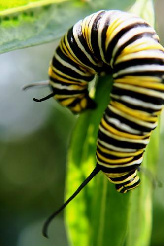 Runaway Caterpillar