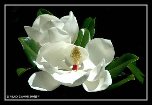 southern magnolia tree flower. Magnolia grandiflora