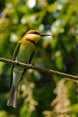 Chestnut headed bee-eater , Merops leschenaulti (shivanayak) Tags: india chestnut shiva karnataka headed beeeater merops  shivanayak chestnutheadedbeeeater meropsleschenaulti leschenaulti 2007 shivashankar