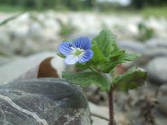 IMGP9929 (gzammarchi) Tags: italia colore natura veronica campagna fiore pietra azzurro paesaggio pianura camminata persica itinerario castelsanpietrobo occhiodellamadonna