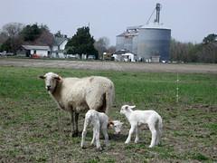 Katahdin ewe with twin lambs