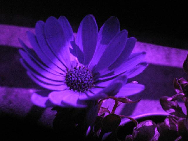 uv african daisy