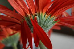 Gerbera (Robson Borges) Tags: brazil flores brasil vermelho gerbera goiânia goiás blueribbonwinner encarnado golddragon robsonborges