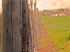 In fila per uno (*Tom [luckytom] ) Tags: macro tom interestingness paolo vine mostinteresting pali primopiano legno ctm oltrepo vigna favcol luckytom torrazacoste