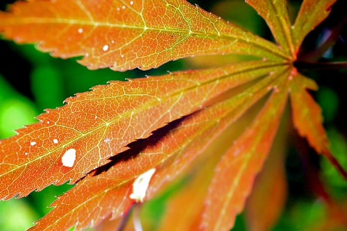 In That Same Vein - a red Japanese Maple leaf in Stayton Oregon