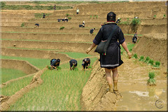 We are planting the rice now (3)