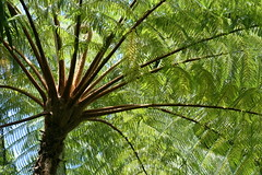 Fronds of the Fern Tree (Boohiker) Tags: fern nature hawaii ferntree