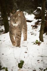 Lynx walking towards me (Cloudtail the Snow Leopard) Tags: luchs lynx katze cat feline animal tier säugetier mammal beutegreifer predator pinselohr winter schnee snow wildpark pforzheim